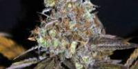 CBD Crew - Critical Mass cannabis seeds