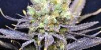 CBD Crew - Nordle cannabis seeds