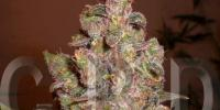 C.B.D. Seeds - Critical Auto cannabis seeds
