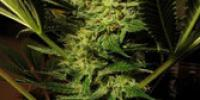C.B.D. Seeds - Cheese cannabis seeds