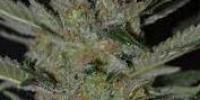 C.B.D. Seeds - Domina cannabis seeds