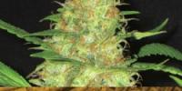 C.B.D. Seeds - Kali cannabis seeds