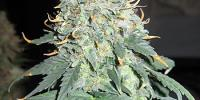 Ceres Seeds - Easy Rider Auto cannabis seeds