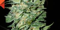 Cream of the Crop - Crop Circle Auto cannabis seeds