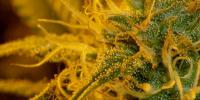 Cream of the Crop - Double Cream cannabis seeds