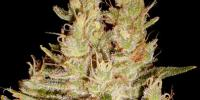 Cream of the Crop - Pretty Lights cannabis seeds