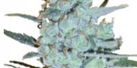 Delicious - Critical Jack Herer cannabis seeds