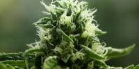Devil's Harvest - John Doe cannabis seeds