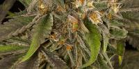 Dinafem - Blue Kush cannabis seeds