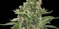 Dinafem - Moby Dick Auto cannabis seeds