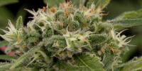 Dinafem - Strawberry Amnesia cannabis seeds