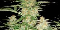 DNA Genetics - 60 Day Wonder - Auto Flowering cannabis seeds