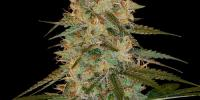 DNA Genetics - Chocolope Kush cannabis seeds