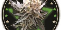 DNA Genetics - Sour Tangie cannabis seeds