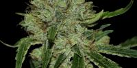 DNA Genetics - Tangielope cannabis seeds