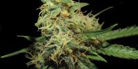 DNA Genetics - GYO Collection - RKS cannabis seeds
