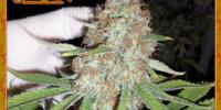 Dr Krippling - Blue Kripple cannabis seeds