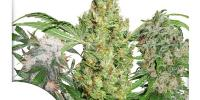 Dutch Passion - 30th Anniversary Mix Feminised Seeds cannabis seeds