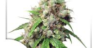 Dutch Passion - Euforia Auto cannabis seeds