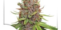 Dutch Passion - Glueberry O.G. Auto cannabis seeds