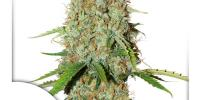 Dutch Passion - Brooklyn Sunrise Auto cannabis seeds