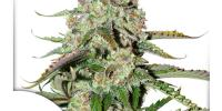 Dutch Passion - Colorado Cookies Auto cannabis seeds