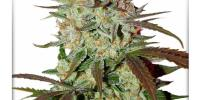 Dutch Passion - Blue Auto Mazar cannabis seeds