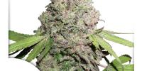 Dutch Passion - CBD Charlotte\'s Angel cannabis seeds