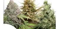 Dutch Passion - CBD Rich Feminised Mix cannabis seeds