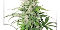 Dutch Passion - Cinderella Jack Auto cannabis seeds