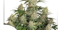 Dutch Passion - Critical Orange Punch Auto cannabis seeds