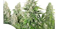 Dutch Passion - High Potency Auto Mix cannabis seeds