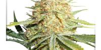 Dutch Passion - Lemon Zkittle cannabis seeds