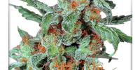 Dutch Passion - Orange Bud cannabis seeds