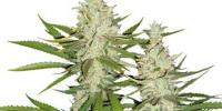 Dutch Passion - Outlaw cannabis seeds