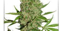Dutch Passion - White Widow X The Ultimate cannabis seeds