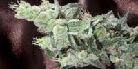 Elemental Seeds - True Berry cannabis seeds