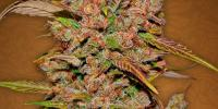 Fast Buds - Crystal M.E.T.H. cannabis seeds