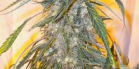 Flash Auto Seeds - Annapurna cannabis seeds