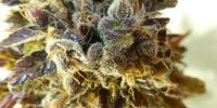 Flash Auto Seeds - Purple Mazar cannabis seeds