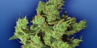 Flying Dutchmen Seeds - Amsterdam Mist cannabis seeds