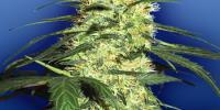 Flying Dutchmen Seeds - Dutch Delight cannabis seeds