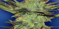 Flying Dutchmen Seeds - G Force cannabis seeds