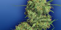 Flying Dutchmen Seeds - Nepal Kush cannabis seeds