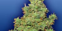 Flying Dutchmen Seeds - Voyager cannabis seeds