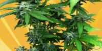 Freedom Of Seeds - Chunky Skunk cannabis seeds