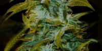 Genehtik Seeds - Super Silver Bilbo cannabis seeds