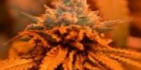 Grand Daddy Purp - Candyland cannabis seeds