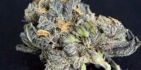 Grand Daddy Purp - Purple Dream cannabis seeds