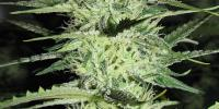 Green Label - Ace Silver Haze cannabis seeds